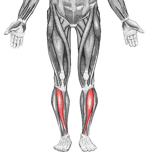 Leg_muscles_(2)
